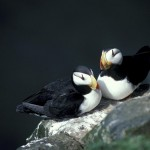 horned-puffin-601629_640
