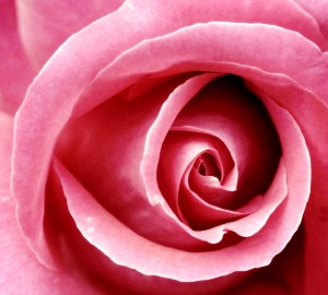Pink Rose, Healthy Living + Travel