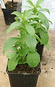 pic-stevia-plant