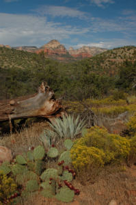 Wild Agave Plant