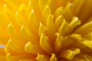 Close up of Yellow Petals