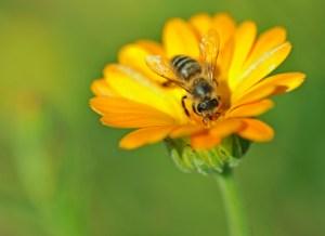 Flower and Honeybee