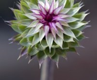 Close Up of Milk Thistle