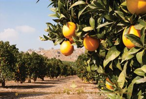 Orange Grove Scented Candles