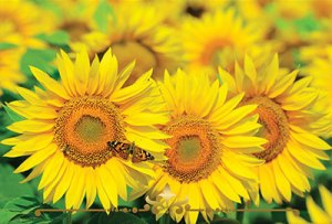 Sunflowers Scented Candles