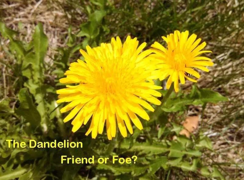 Picture of dandelion with question The Dandelion-Friend or Foe?