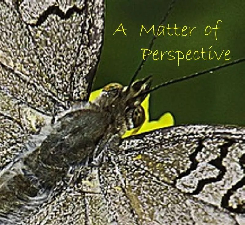 Closeup of the head of a butterfly with the title A Matter of Perspective.