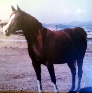 Arabian horse.