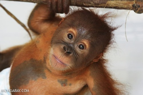 Orangutan orphaned after its mother was killed in an oil palm plantation. Photos by Rhett A. Butler.