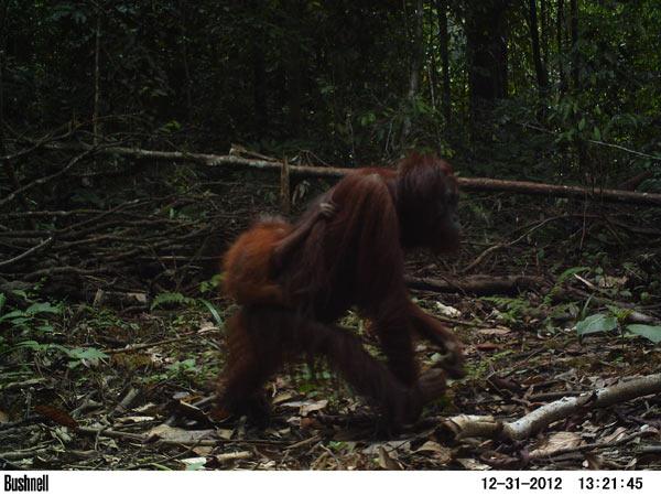 A female orangutan with a baby walks down a newly built logging road. Photo credit: Brent Loken.