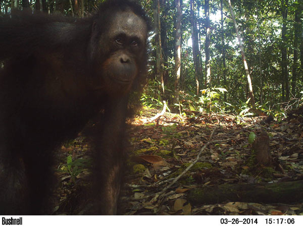 An orangutan checks out a camera trap set along a ridgeline in a primary forest. Photo credit: Brent Loken.