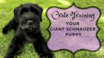 Crate Training Your Giant Schnauzer Puppy