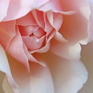 Wild Rose 1K SQ