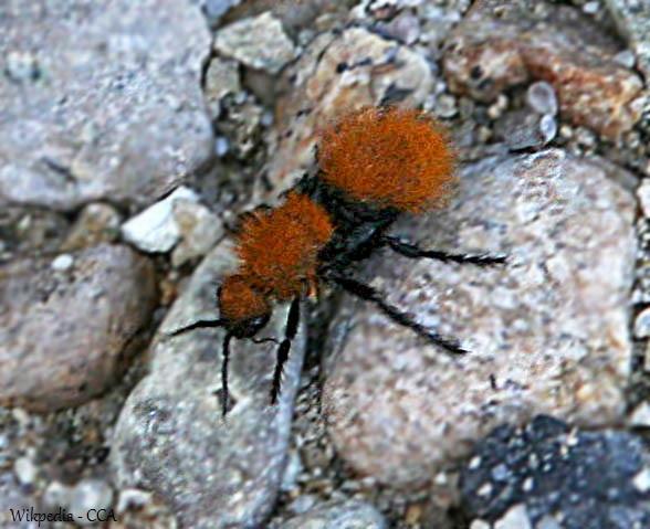 Velvet Ants I E Wasps
