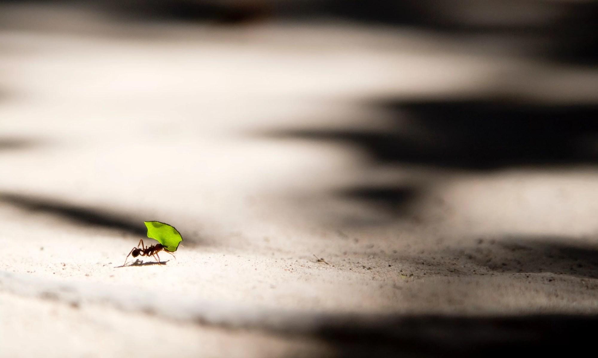 an ant carries a leaf