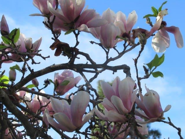 SPRING FLOWERING TREE