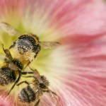 3 ways to save bees