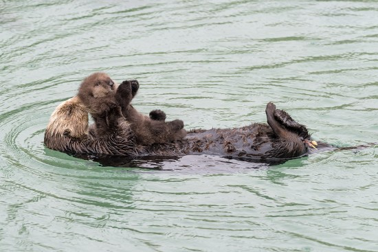 Sea Otter gives birth to newborn pup in Monterey Bay Aquarium Tide Pool