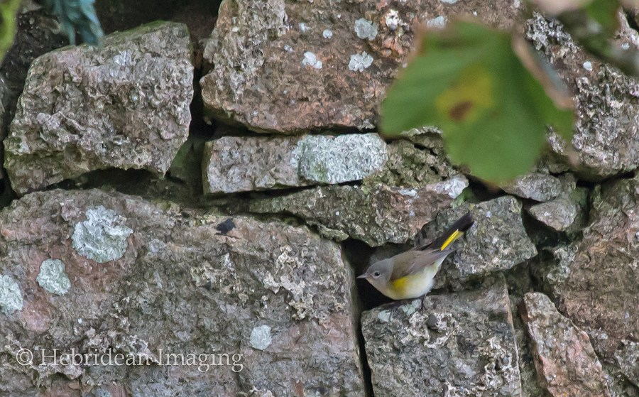 american redstart - barra - 2017 - outer hebrides birds - rarities - bird photography