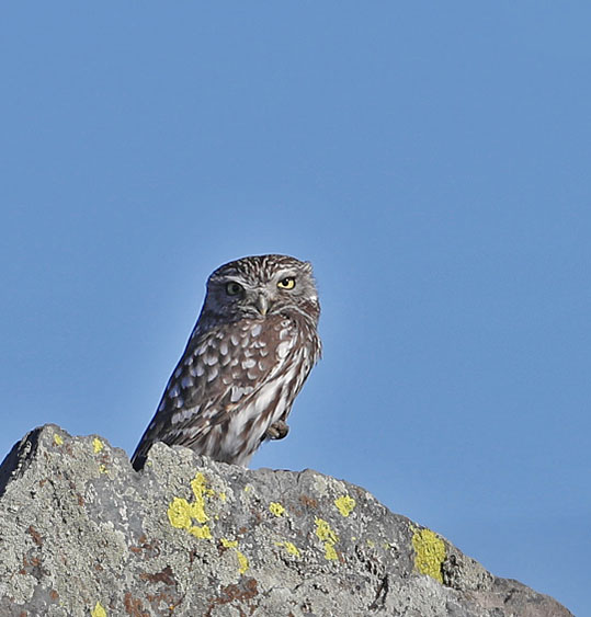 Hebridean Imaging - Yvonne Benting - Bird Photography - Spain - Little Owl - La Janda