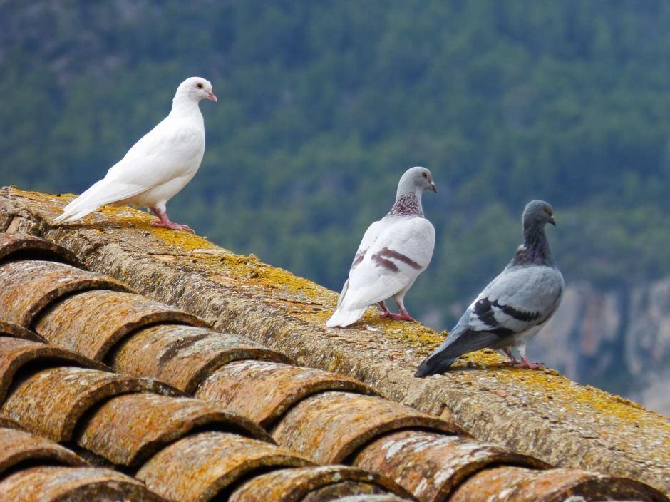 pigeons-güvercin-göğercin