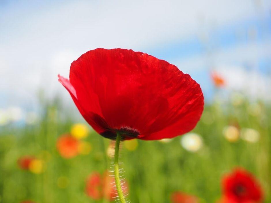 gelincik-red-flower-poppy