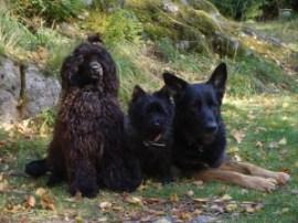 """Qurre med """"storebror"""" Affe, cairnterrier och """"lillasyster"""" Olivia, portugisisk vattenhund."""
