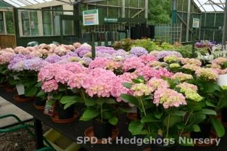 Hydrangeas at scot plants direct at hedgehogs nursery