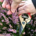 heather plant pruning