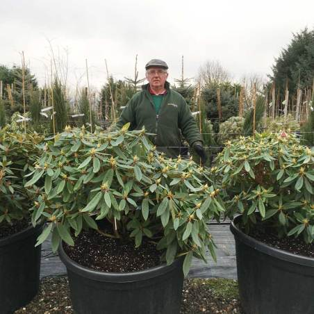 big rhododendrons