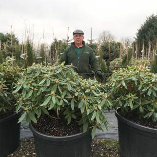 Big Large Rhododendrons