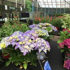 Royalty Hydrangea Collection