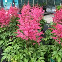 Astilbe Jump and Jive