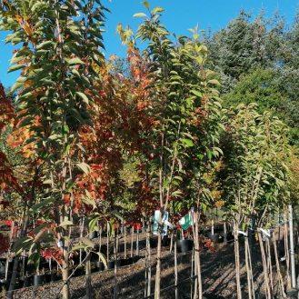 Prunus Amanagowa