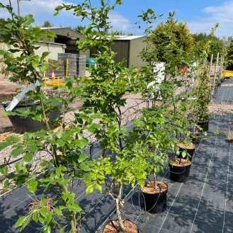 Always a favourite Green Beech Trees