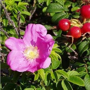 Rosa rugosa hedging