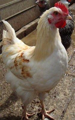Errol the stunning Amber Cockerel