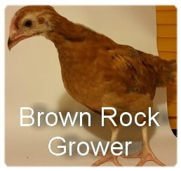 Very young Brown Rock