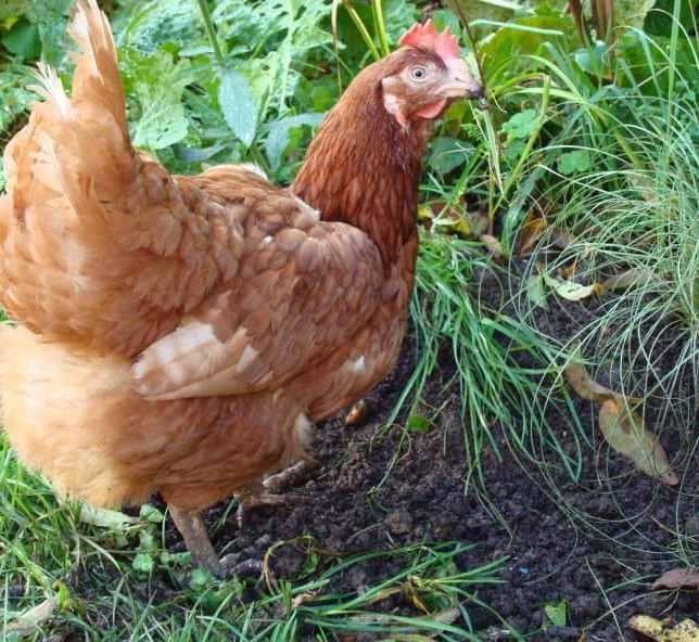Doris our first head ex-batt chicken