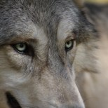 Wolf Science Center: Chito (Foto Wolf Science Center)