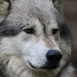 Wolf Science Center: Geronimo (Foto Wolf Science Center)