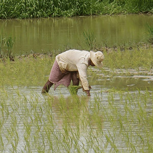 Battambang_Riziere