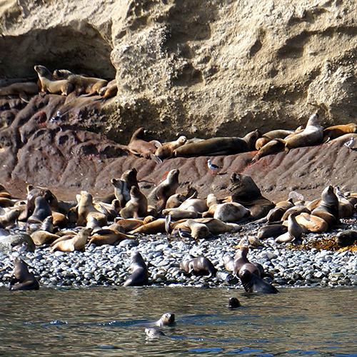 Chili - Punta Arenas / île Marta
