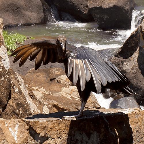 Argentine - Iguazu / Charognard