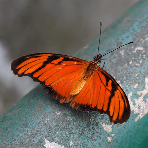 Brésil - Iguaçu / Papillon (Dryadula)