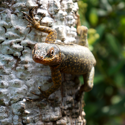 Bresil - Iguaçu / Gecko