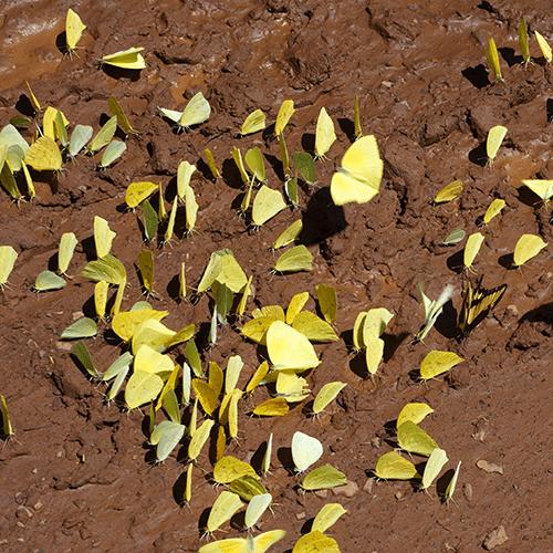 Argentine - Iguazu /  Papillons jaunes (Phoebis)