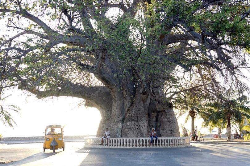 Madagascar Majunga - Baobab