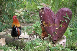 Sustainable Community Rooster in Hawaii