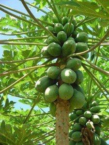 agricultural tourism papaya